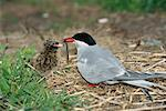 Mother Arctic Tern Feeding Young, Farne Islands, England    Stock Photo - Premium Rights-Managed, Artist: F. Lukasseck, Code: 700-00608858