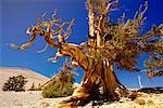 Bristlecone Pine Forest, California, USA
