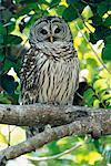 Barred Owl, Everglades National Park, Florida, USA    Stock Photo - Premium Rights-Managed, Artist: F. Lukasseck, Code: 700-00608891