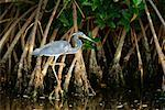 Egret, Ding Darling Wildlife Refuge, Florida, USA    Stock Photo - Premium Rights-Managed, Artist: F. Lukasseck, Code: 700-00608911