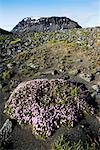 Wildflowers and Mount Skjaldbreidur, Iceland    Stock Photo - Premium Rights-Managed, Artist: Jeremy Woodhouse, Code: 700-00609862