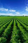 Carrot Field, Ontario, Canada    Stock Photo - Premium Rights-Managed, Artist: Ken Davies, Code: 700-00618328