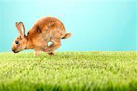 Rabbit Hopping    Stock Photo - Premium Rights-Managednull, Code: 700-00618737