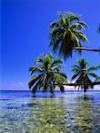 Palm Trees Hanging over Water, Opunohu Bay, Pacific Ocean, Moorea, Tahiti, French Polynesia