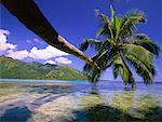 Palm Tree Hanging over Water, Opunohu Bay, Pacific Ocean, Moorea, Tahiti, French Polynesia