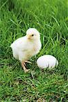 Baby Chicken and Egg