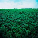 Field of Hemp Plants, Ontario, Canada    Stock Photo - Premium Rights-Managed, Artist: Derek Shapton, Code: 700-00688624
