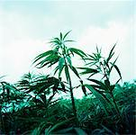 Hemp Plants    Stock Photo - Premium Rights-Managed, Artist: Derek Shapton, Code: 700-00688627