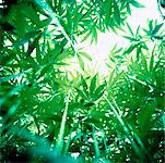 Hemp Plants    Stock Photo - Premium Rights-Managed, Artist: Derek Shapton, Code: 700-00688628