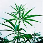 Close-Up of Hemp Plant    Stock Photo - Premium Rights-Managed, Artist: Derek Shapton, Code: 700-00688629