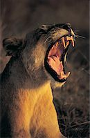 roar lion head picture - Female lion (Panthera Leo) Stock Photo - Premium Royalty-Freenull, Code: 613-00705493