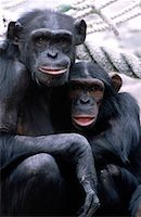 smiling chimpanzee - Chimpanzees Stock Photo - Premium Royalty-Freenull, Code: 621-00737410