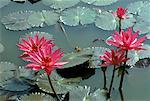 Lily Pads in Pond Stock Photo - Premium Royalty-Free, Artist: R. Ian Lloyd, Code: 621-00737545