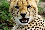 Growling Cheetah Stock Photo - Premium Royalty-Free, Artist: Jeremy Woodhouse, Code: 621-00739399