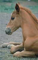 Foal Resting Stock Photo - Premium Royalty-Freenull, Code: 621-00739613