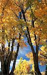 Fall Trees Stock Photo - Premium Royalty-Free, Artist: satariel                      , Code: 621-00740084