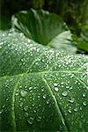 Close Up of Leaf    Stock Photo - Premium Rights-Managed, Artist: R. Ian Lloyd, Code: 700-00747768