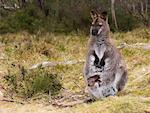 Bennetts Wallaby and Joey, Cradle Mountain Lake St. Clair National Park, Tasmania    Stock Photo - Premium Royalty-Free, Artist: Jochen Schlenker, Code: 600-00796090