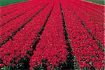 Netherlands, south Holland, Lisse, field of tulips Stock Photo - Premium Royalty-Freenull, Code: 610-00797309