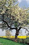 France, Normandy, Perche, apple tree and fields of rape Stock Photo - Premium Royalty-Freenull, Code: 610-00797737