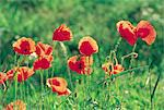 Poppies. Stock Photo - Premium Royalty-Freenull, Code: 610-00797941