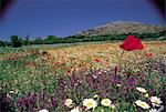 Greece, Crete, field of poppies Stock Photo - Premium Royalty-Freenull, Code: 610-00797942