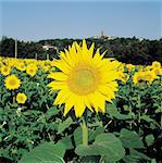 Sunflower. Stock Photo - Premium Royalty-Freenull, Code: 610-00798855