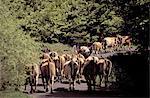 France, Aveyron, Aubrac, transhumance
