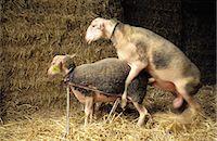 ram (animal) - France, Aveyron, breeding ram Stock Photo - Premium Royalty-Freenull, Code: 610-00799113