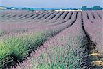 France, Provence, Valensole Plateau, lavender field Stock Photo - Premium Royalty-Freenull, Code: 610-00799182