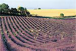 France, Alps, Valensole, field of lavander Stock Photo - Premium Royalty-Freenull, Code: 610-00799183