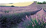 France, Alps, Valensole, field of lavander Stock Photo - Premium Royalty-Freenull, Code: 610-00799184