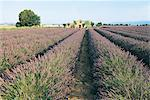 France, Alps, Valensole, field of lavander Stock Photo - Premium Royalty-Freenull, Code: 610-00799185