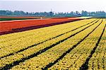 Netherlands, south Holland, Lisse, field of daffodils Stock Photo - Premium Royalty-Freenull, Code: 610-00799606