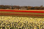 Netherlands, south Holland, Lisse, field of daffodils Stock Photo - Premium Royalty-Freenull, Code: 610-00799609