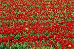 Netherlands, south Holland, Lisse, field of tulips Stock Photo - Premium Royalty-Freenull, Code: 610-00799618