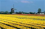Netherlands, south Holland, Lisse, field of daffodils Stock Photo - Premium Royalty-Freenull, Code: 610-00799620