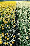 Netherlands, south Holland, field of narcissus Stock Photo - Premium Royalty-Freenull, Code: 610-00799850