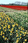 Netherlands, south Holland, field of narcissus and tulips Stock Photo - Premium Royalty-Freenull, Code: 610-00799852