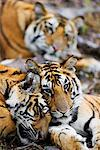 Tigers    Stock Photo - Premium Rights-Managed, Artist: Jeremy Woodhouse, Code: 700-00800786