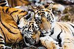 Tigers Sleeping    Stock Photo - Premium Rights-Managed, Artist: Jeremy Woodhouse, Code: 700-00800787