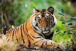 Portrait of Tiger    Stock Photo - Premium Rights-Managed, Artist: Jeremy Woodhouse, Code: 700-00800799