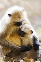 Langur Monkeys    Stock Photo - Premium Rights-Managednull, Code: 700-00800803