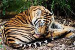Tiger Grooming    Stock Photo - Premium Rights-Managed, Artist: Jeremy Woodhouse, Code: 700-00800808