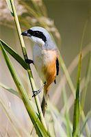 Long Tailed Shrike    Stock Photo - Premium Rights-Managednull, Code: 700-00800824
