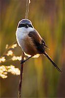 Long Tailed Shrike    Stock Photo - Premium Rights-Managednull, Code: 700-00800834