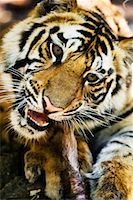 Tiger Eating    Stock Photo - Premium Rights-Managednull, Code: 700-00800839