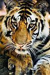 Portrait of Tiger    Stock Photo - Premium Rights-Managed, Artist: Jeremy Woodhouse, Code: 700-00800840
