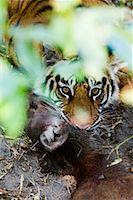 Tiger with Sambar Deer Kill, Bandhavgarh National Park, Madhya Pradesh, India    Stock Photo - Premium Rights-Managednull, Code: 700-00800852