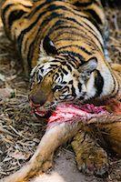 Tiger with Sambar Deer Kill, Bandhavgarh National Park, Madhya Pradesh, India    Stock Photo - Premium Rights-Managednull, Code: 700-00800853